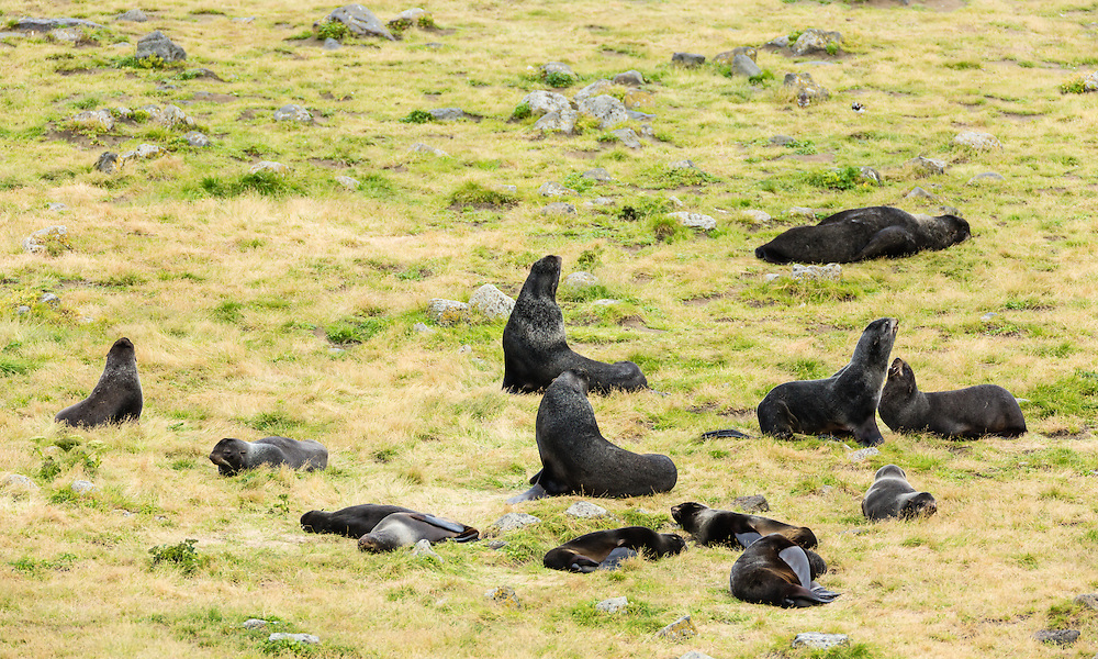 Northern Fur Seal (Callorhinus ursinus) at rookery on St. Paul Island in the Pribilofs in Southwest Alaska. Summer. Morning.