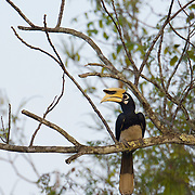 Malw oriental pied hornbill (Anthracoceros albirostris) is a species of hornbill in the Bucerotidae famil