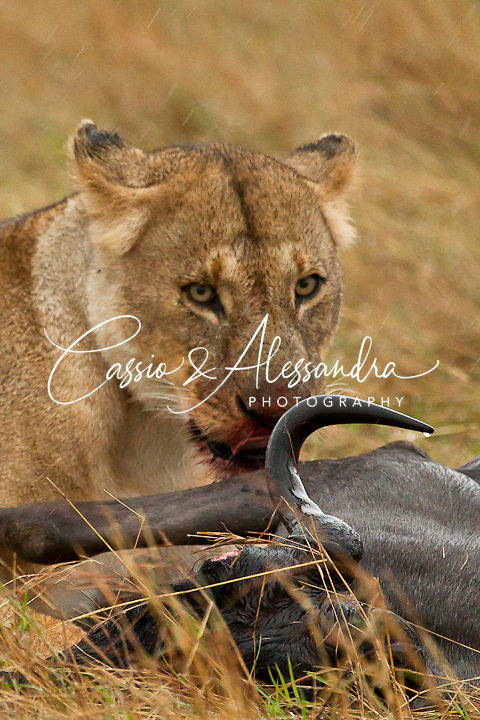 Lionesses with cubs feeding of a wildbeest carcass under the rain.