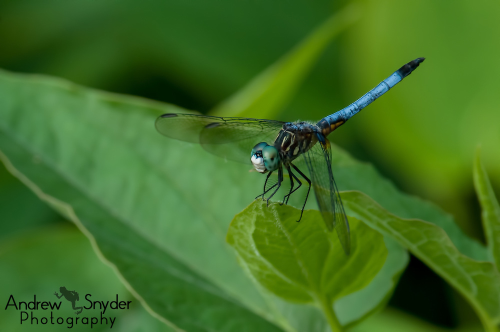 A blue dasher (Pachydiplax longipennis) pauses on a small leaf - Water Valley, Mississippi