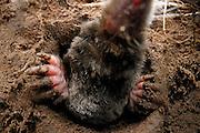 European Mole (Talpa europaea) in its subterranean burrows. | Maulwurf (Talpa europaea) in seinem unterirdischen Gang. |