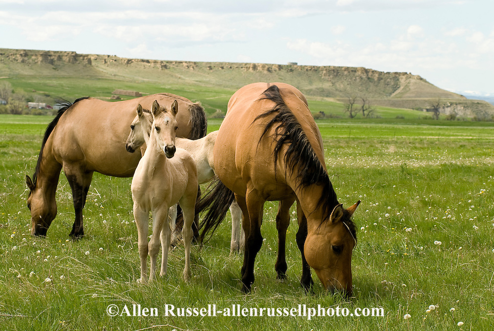 Quarter Horses, Buckskin mares and foals<br /> PROPERTY RELEASED
