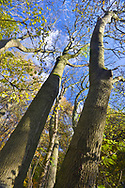 Ancient Ash tree in mature woodland, Stoke Wood, Oxfordshire.