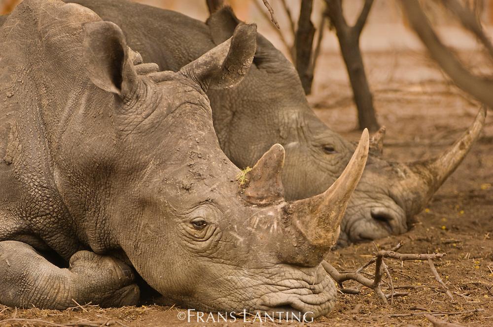 White rhinos resting, Ceratotherium simum, Bandia Reserve, Senegal