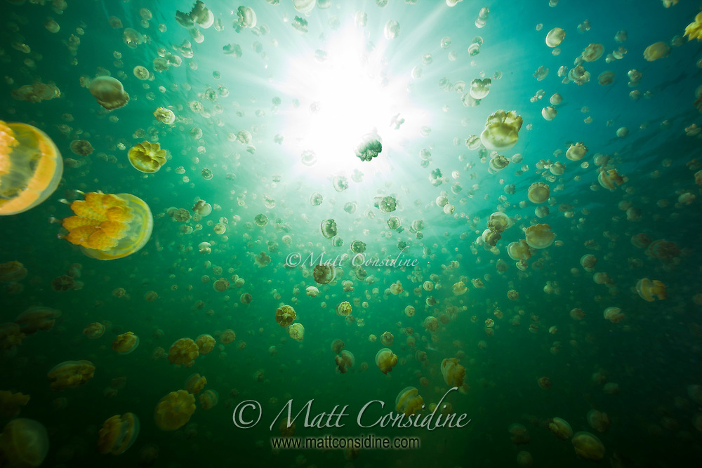 Sun burst through jellyfish from deep below the surface, Palau Micronesia. (Photo by Matt Considine - Images of Asia Collection)