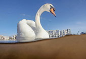 Urban Mute Swan Wildlife Photography, Bristol & Somerset