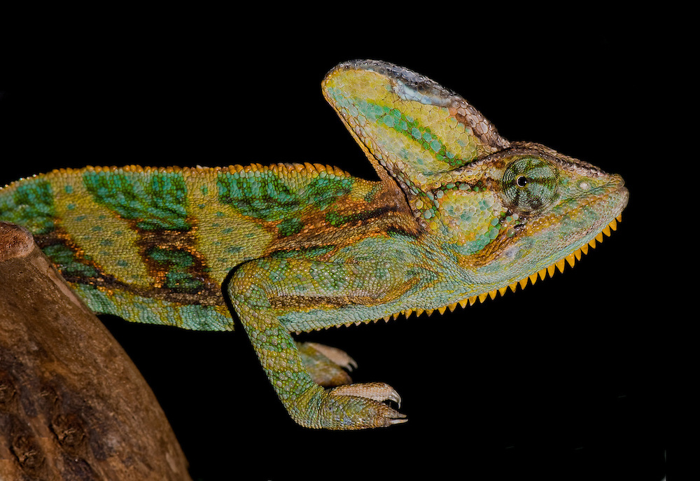 Veiled chameleons are native to Yemen and southern Saudi Arabia