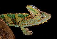 Veiled chameleons are native to Yemen and southern Saudi Arabia