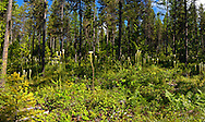Bear grass blooming in a managed forest in the Haskill Basin, F.H. Stoltze Land & Lumber Co. property. Flathead County, Montana.