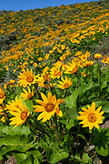 A hillside of the Beezley Hills near Quincy, Washington, is filled with blooming Arrowleaf balsamroot (Balsamorhiza sagittata) wildflowers in early spring.