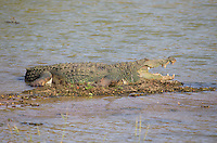Large Mugger Crocodile (Crocodylus palustris), Yala National Park, Sri Lanka