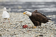 A bald eagle (Haliaeetus leucocephalus) feeds on a chum salmon while a seagull waits for scraps along the banks of the Chilkat River in the Chilkat Bald Eagle Preserve near Haines in Southeast Alaska. Winter. Afternoon.
