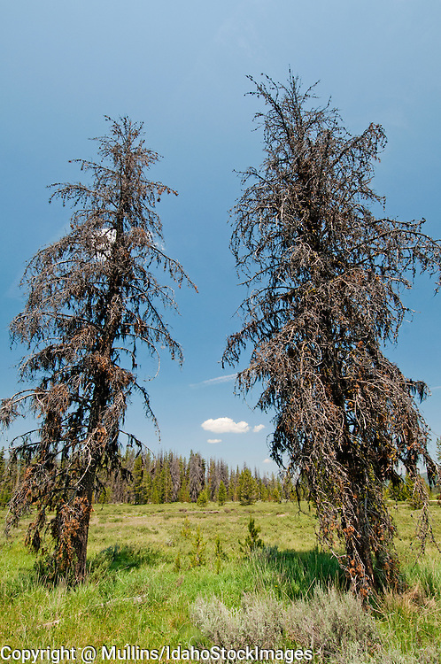 Mountain pine beetle-killed lodgepole pine trees in Bear Valley, ID