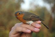 Israel ringing an European Robin (Erithacus rubecula)