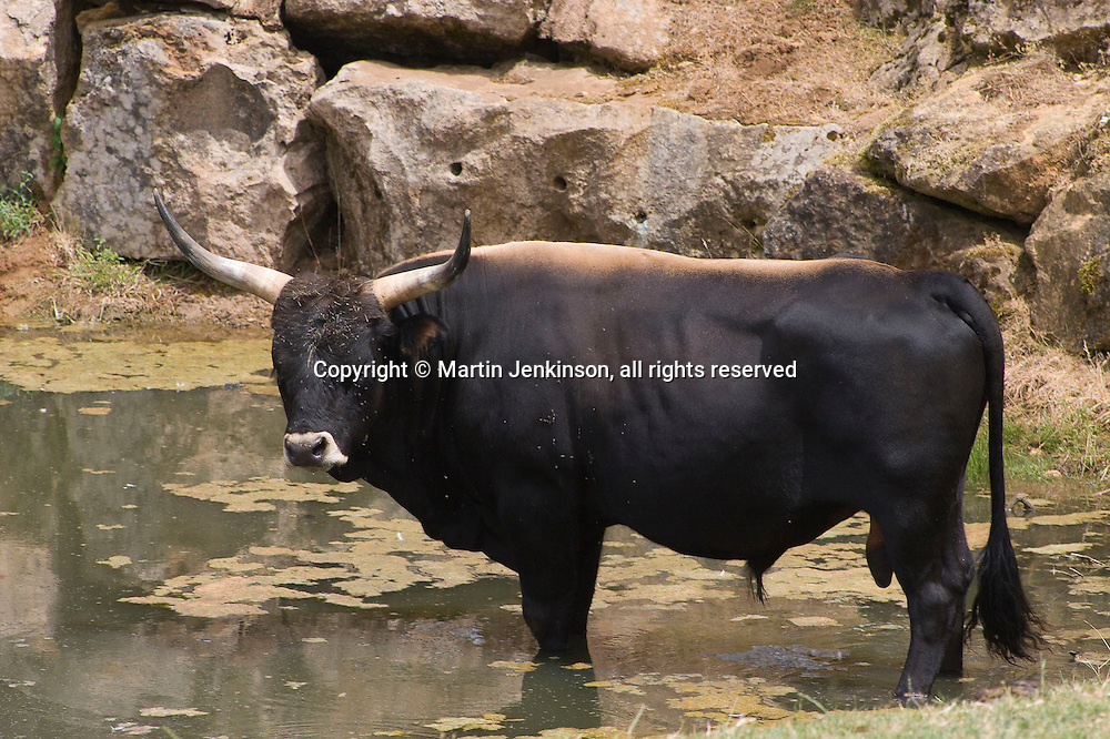 Aurochs de Heck, a genetic reformation of the Aurochs depicted in wall paintings at the Lascaux cave. La Thot Museum ..., Travel, lifestyle
