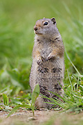 Stock photo of uinta ground squirrel captured in Wyoming.  The adult squirrels enter hibernation as early as July.  They then emerge between late March and May.