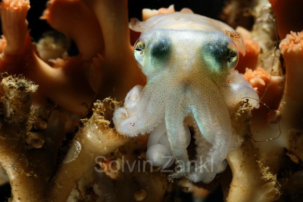 [captive] Cuttlefish (Rossia glaucopis) (Sepiida) Trondheimfjord, North Atlantic Ocean, Norway | Zwischen den Verästelungen der Kaltwasserkoralle sucht ein kleiner Tintenfisch Schutz und Halt. Trondheimfjord, Norwegen