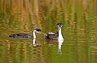 Western Grebe pair the female rides its young on its back while the male feeds the young chick a fish.