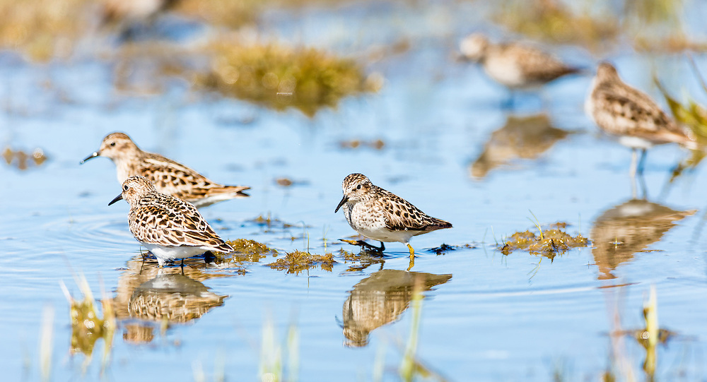 Western and Least Sandpipers (Calidris mauri, Calidris minutilla) foraging on the tidal flats of Hartney Bay near Cordova in Southcentral Alaska  to refuel on the long spring migration to the arctic. Afternoon.