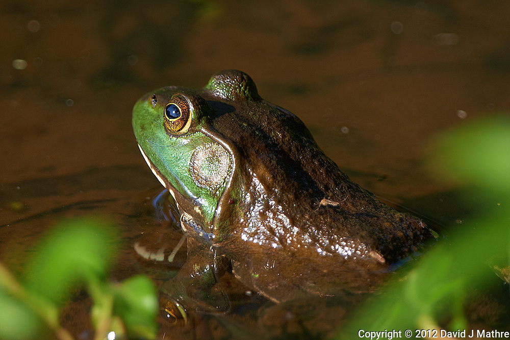 Bullfrog with a Mosquito on its Back. Spring Nature in New Jersey at a Pond in the Sourland Mountain Preserve. Image taken with a Nikon D800 and 500 mm f/4 VR lens (ISO 160, 500 mm, f/4, 1/500 sec). .
