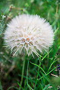 Dandelion blowball photographed in Italy