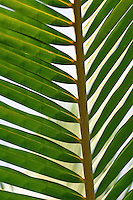 Beautiful detail and patterns of a palm leaf.
