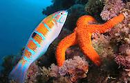 Alberto Carrera, Narural Colors Exhibition, Thalassoma pavo, Echinaster sepositus, Mediterranean Sea, Spain, Europe