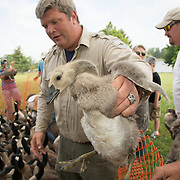 John Brunjes, a wildlife biologist with the Kentucky Department of Fish and Wildlife Resources, passes a gosling to a volunteer for banding at Jacobson Park in Lexington, Ky., on Tuesday July 1, 2014. Around 475 Canada geese were banded at the park and at a farm in Fayette County as part of a population study. Under the direction of the Department of Fish and Wildlife, each year at this time in various locations around the state, when the geese are molting and unable to fly, they are rounded up, banded, their genders identified and quickly released. Photo by David Stephenson