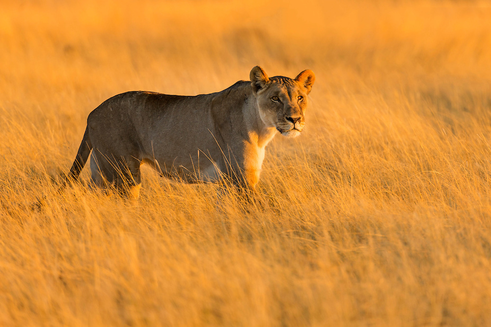 A female lion on the prowl at sunrise, Etosha National Park, Namibia.