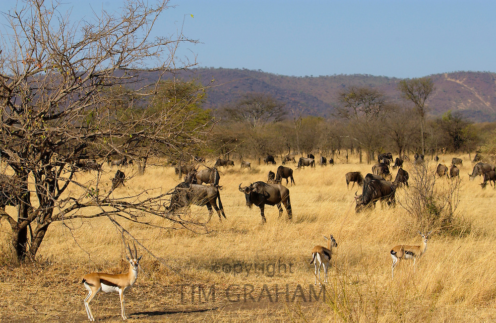 Blue Wildebeest and Thomson's Gazelles, Grumeti, Tanzania