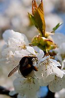Switzerland. Springtime. Bumblebee collecting pollen from cherry blossom.