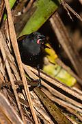 Saddleback foraging along the forest floor, Tiritiri Matangi, New Zealand
