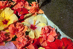 Floating Hibiscus blossoms in early morning sunlight. Generic to Hawaii.
