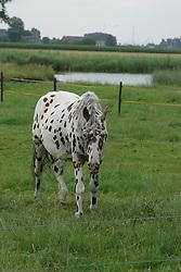 Apaloosa panterbont<br /> Stal Smet - Kieldrecht 2004<br /> Photo© Dirk Caremans