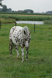 Apaloosa panterbont<br /> Stal Smet - Kieldrecht 2004<br /> Photo© Dirk Caremans