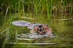 A beaver eats aquatic vegetation near the beaver dams at Horseshoe Lake in Denali National Park in Alaska. The beaver was seen near the Horseshoe Lake Trail.