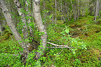 Taiga boreal forest along the King's Trail hiking trail, Padjelanta National Park, Kvikkjokk in the Laponia UNESCO World Heritage Site, Greater Laponia rewilding area, Lapland, Norrbotten, Sweden