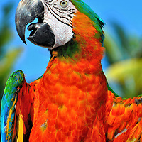 Scarlet Macaw at Riviera Maya, Mexico<br />