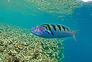 Sixbar wrasse, Thalassoma hardwicke, Savu Savu, Vanua Levu, Fiji, on small coral wall near (Philippe?) Cousteau resort.