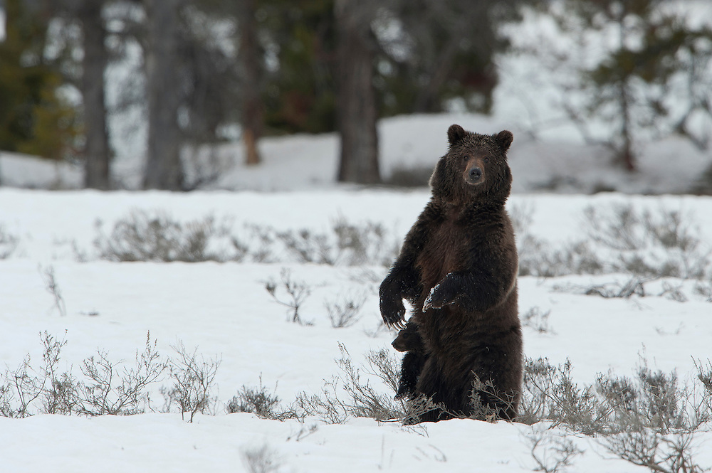 A grizzly sow with a new cub stands on her hind legs in order to get a better view of her surroundings, Yellowstone National Park, Wyoming