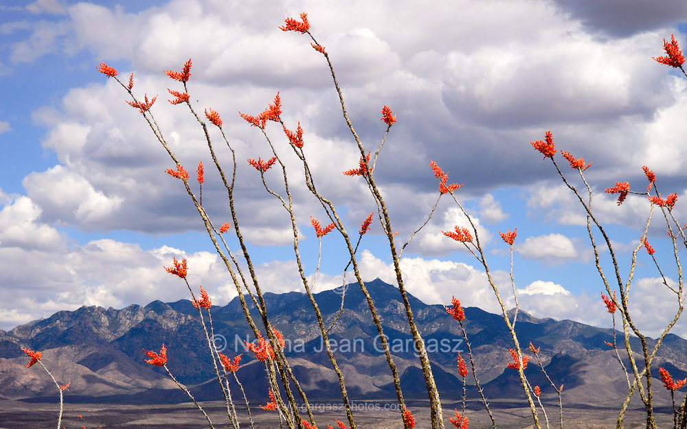 The Santa Rita Mountains are seen through ocotillo, (Fouquieria splendens), in bloom in Tubac, Arizona, USA.