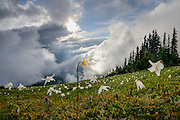 High on Olympic National Park's Hurricane Ridge, Avalanche lilies carpet the alpine mounainside as fog rolls in, obscuring views of the Strait of Juan de Fuca. Near Port Angles, Washington