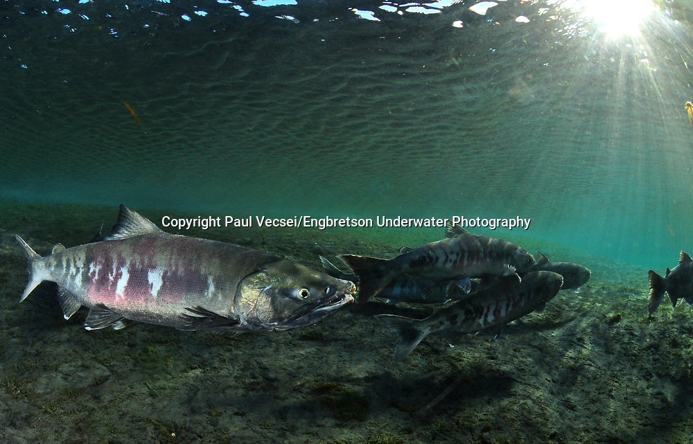 Chum Salmon<br />