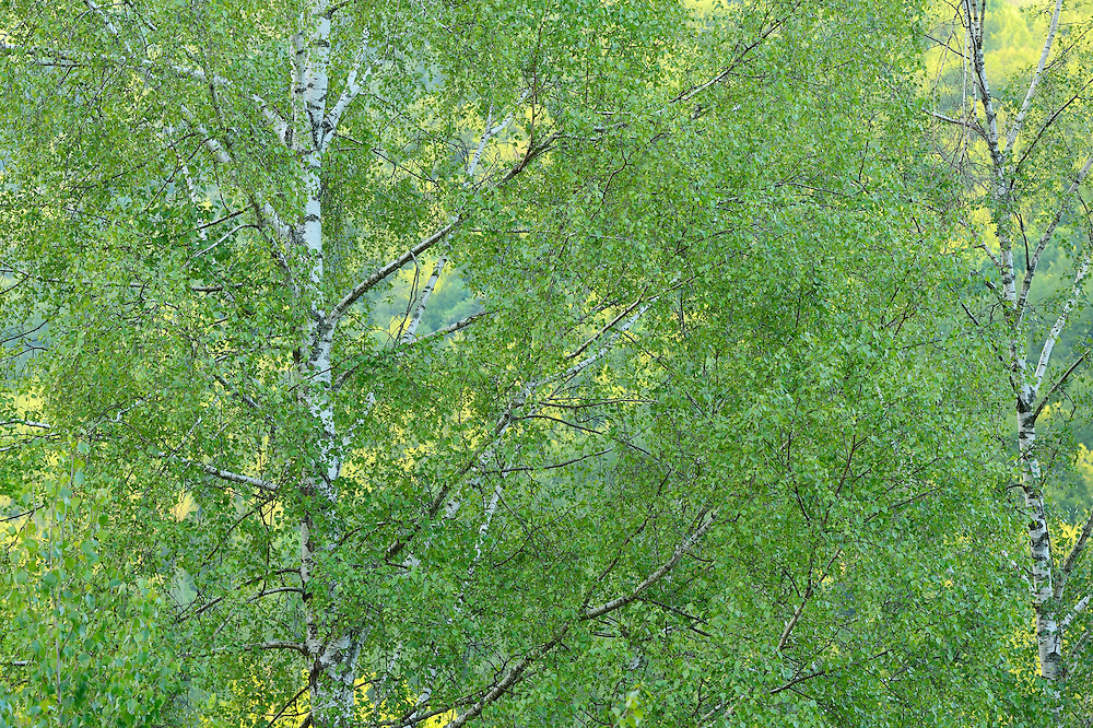 Birch tree Betula pubescens, in the Tarcu mountains nature reserve, Natura 2000 area, Southern Carpathians, Romania.