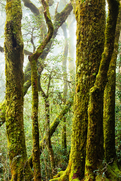 Antarctic Beech (Nothofagus moorei) growing above 900m on the escarpment of Lamington National Park. Often shrouded in cloud and moist cool air this location as far north as these trees grow.