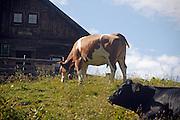 Austria, Upper Austria, Gosau village, in the Dachstein Mountains a cow on a farm