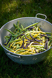 Colander of harvested mixed French beans - Phaseolus vulgaris