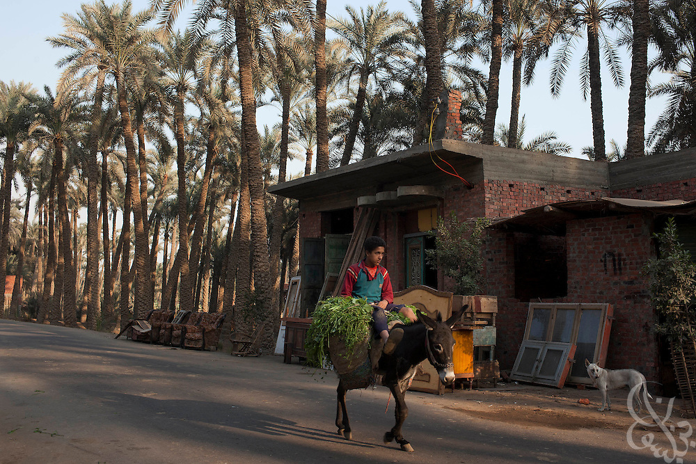 A boy rides a donkey back from the fields, January 27, 2011, in the village of Badr Asheen, 25 kilometers south of the capital, Cairo. Rural Egyptians have been following the latest unrest that is taking place in Cairo and other Egyptian cities, but many are preoccupied with trying to make a living to survive and don't have time to even protest. .Slug: Egypt.Credit: Scott Nelson for the New York Times