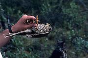 Merlin Falcon, Falcon, Merlin Falcon Chick, Chick, Bird Chick, Nest, bird nest, Denali National Park, Alaska