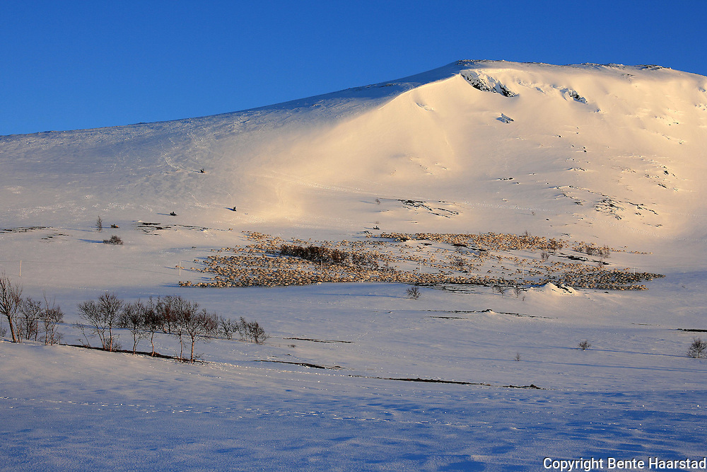 Vårflytting i Essand reinbeitedistrikt. Simleflokken har passert Øyfjellet og er på veg nordover mot Skarpdalen, til kalvingsområdet og sommerbeitet.